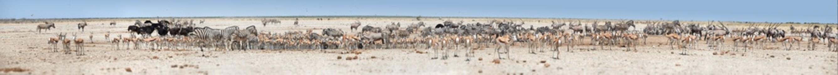 Very long panoramic photo of huge herds of wildlife drinking at busy waterhole, Etosha, Namibia. Etosha national park safari game drive. Wildlife photography in South Africa, Botswana and Namibia.