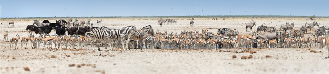 anoramic photo of huge herds of wildlife drinking at busy waterhole, Etosha, Namibia. Etosha national park safari game drive in Namibia. Wildlife photography in South Africa, Botswana and Namibia.