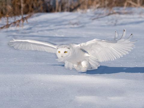 Male Snowy Owl Landing on Snow Field in Winter