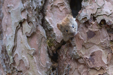 Bank vole hiding on a pine tree