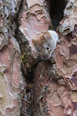 Bank vole on fir tree. Myodes glareolus or Clethrionomys glareolus