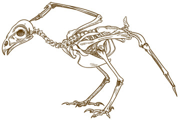 engraving illustration of bird skeleton