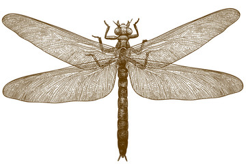 engraving illustration of dragonfly meganeura