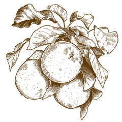 engraving three apples on branch
