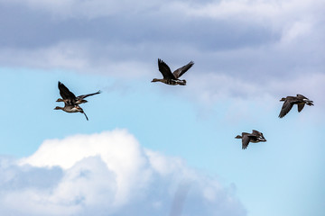 White Fronted Geese (Anser albifrons) take flight at the Sacramento National Wildlife refuge in the Central Valley of Northern California USA