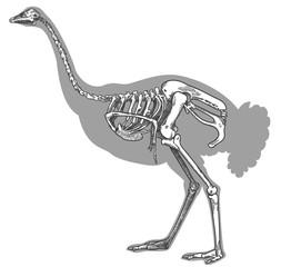 engraving illustration of ostrich skeleton