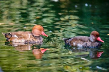 Redhead duck swimming in the water(Aythya americana)