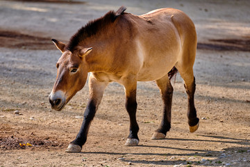 Przewalski's horse (Equus ferus przewalskii), also known as the Mongolian wild horse or Dzungarian horse