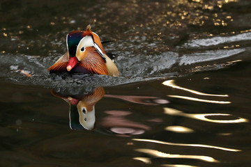 A Mandarin Duck, a native species to East Asia, swims in  The Pond in Central Park in Manhattan in New York City