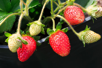 Strawberries Green and Red