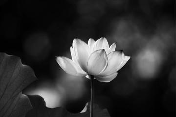 white lotus flower blooming