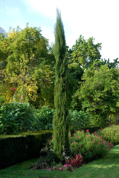 Cupressus Sempervirens - Cypres De Provence