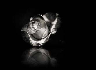 Rose flower in black ind white