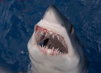 closeup of a mouth of mako shark