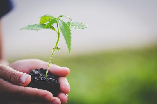 Farmer Holding a Cannabis Plant, Farmers are planting marijuana seedlings.