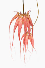bulbophyllum orchid elizabeth ann buckleberry