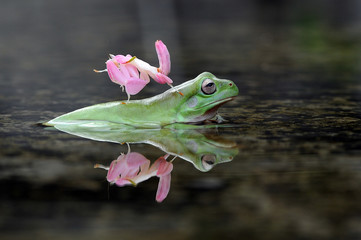 Dumpy Frog with Orchid Mantis