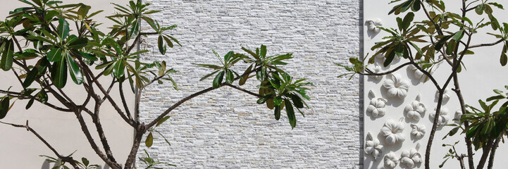 frangipani tree in front of a white stone wall