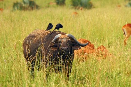 Cape Buffalo feeding on the plains