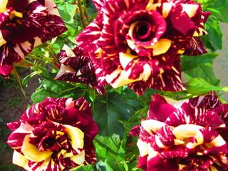 The Rose. Variety Focus