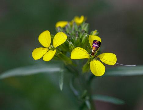 Macrophotographie fleur sauvage - Moutarde des champs - Sinapis arvensis