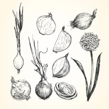 Hand-drawn illustration of Onion, vector