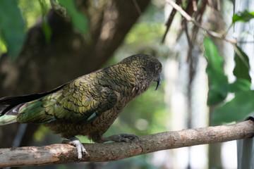 Kea parrot New Zealand