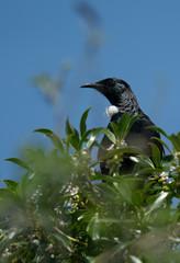 Tui bird in a tree
