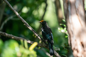 Tui bird with pollen on it's head