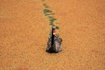 Black Swan in a lake