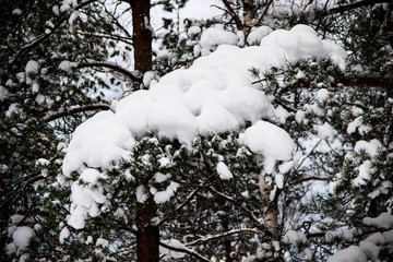 Beautiful winter landscape with snow-covered branches and trees. Close up photo of pine needles. Snowy branches and tree trunks in the forest, snowy winter day. Winter background.