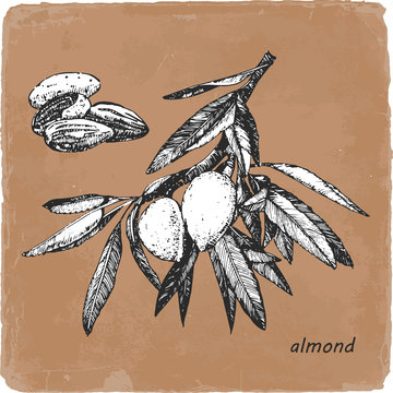 Hand-drawn illustration of Almond. Vector