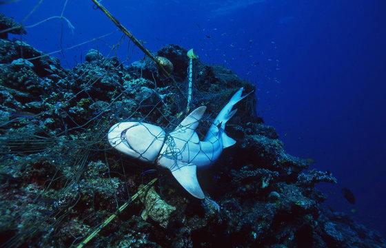 Dead Shark in a fishing net / Marine Protection / Sea Environmental Destruction