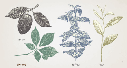 Hand-drawn set of plants: cocao, tea, coffe and ginseng. Vector