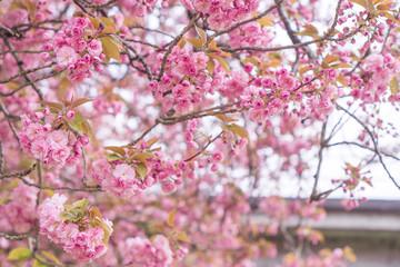 Papiers peints Fleur de cerisier Fleur de cerisier rose à Nantes, France