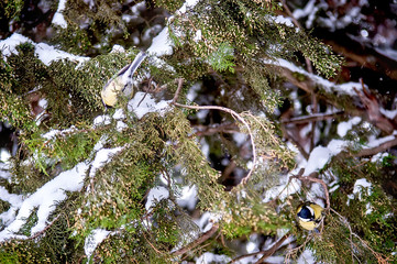 Blue Tit perched on cypress branches covered with snow in winter. Selective Focus.