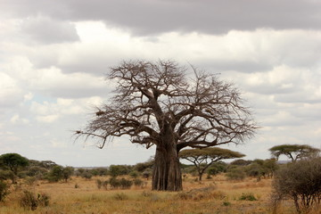 a beautiful baobab tree in the Serengeti, Tanzania