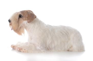 female sealyham terrier puppy
