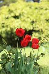 チューリップのある風景(赤)