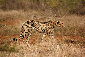 cheetah walking in the grass in Africa