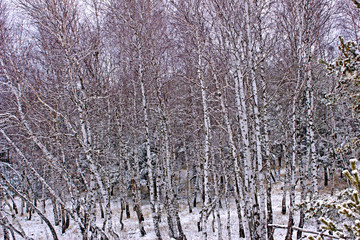 Scenic, winter forest. Beautiful nature in winter. Trees in the forest shrouded in snow. Snow covered trees and pines in the forest.