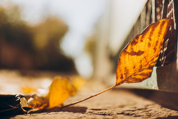 Wall Mural - Autumn leaf on the ground in the sunlight