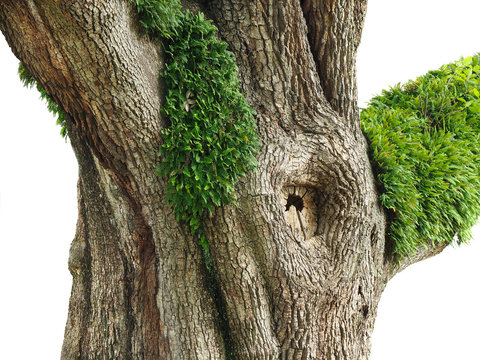 Trunk of  A Huge Live Oak Tree with Resurrection Ferns Growing on It