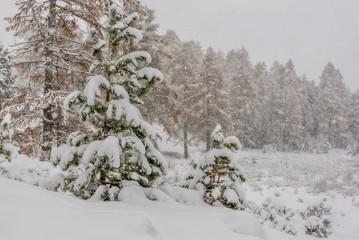 forest snowfall snow trees autumn