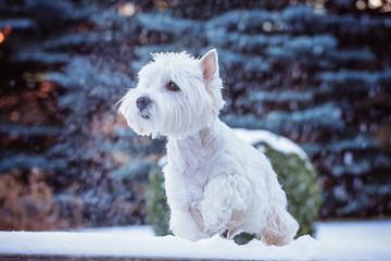 white cute little dog