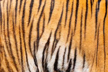 Tiger , A mammal with milk.