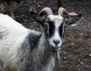 goat,animal,farm,animal,portrait,head,field,white,nature.
