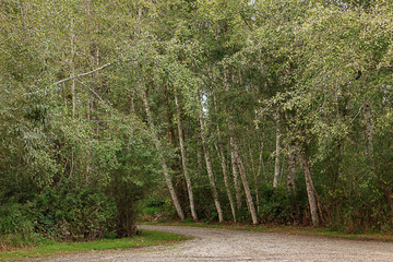 bright park path turning with birch trees