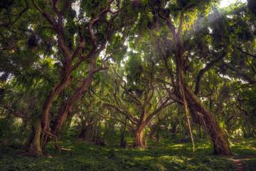 MauiTreesJungle