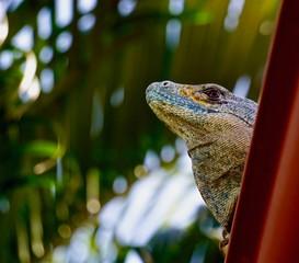 Iguana perching